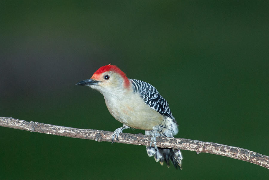 Woodpecker Photograph - Red Head by Paul Johnson