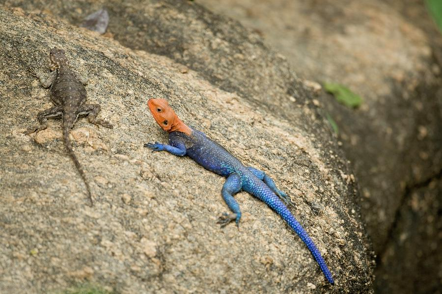 Wildlife Photograph - Red-headed Rock Agama by Photostock-israel
