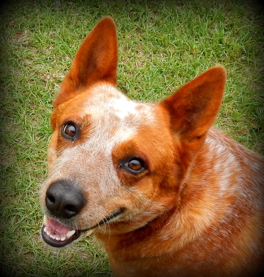 Red Dog Photograph - Red Heeler by Lynn Griffin