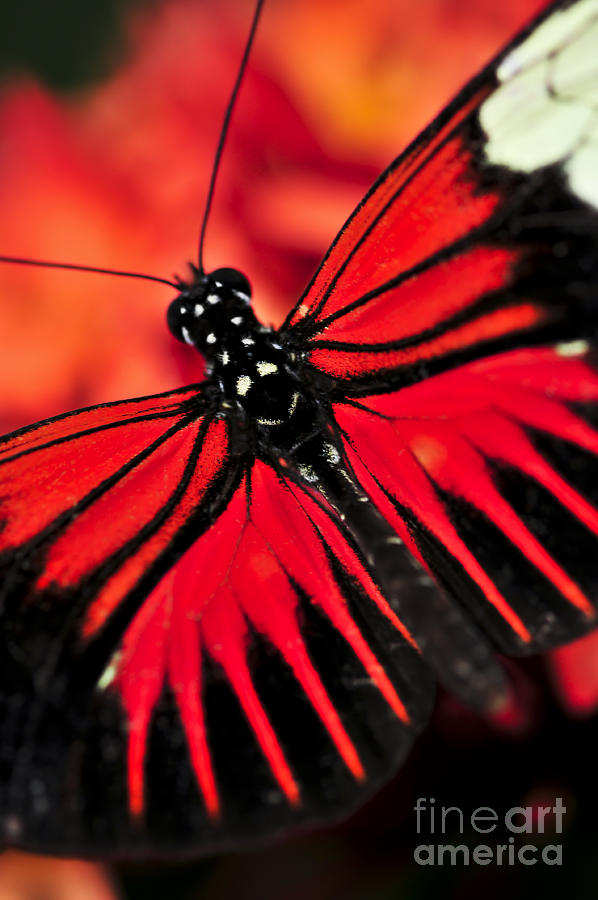 Butterflies Photograph - Red Heliconius Dora Butterfly by Elena Elisseeva