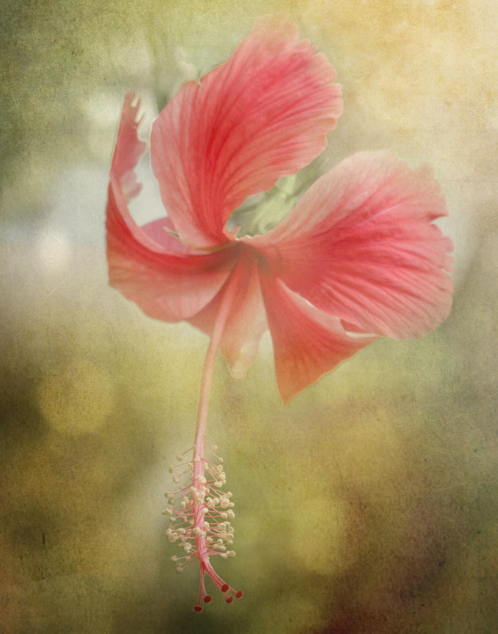 Close Up Photograph - Red Hibiscus by David and Carol Kelly