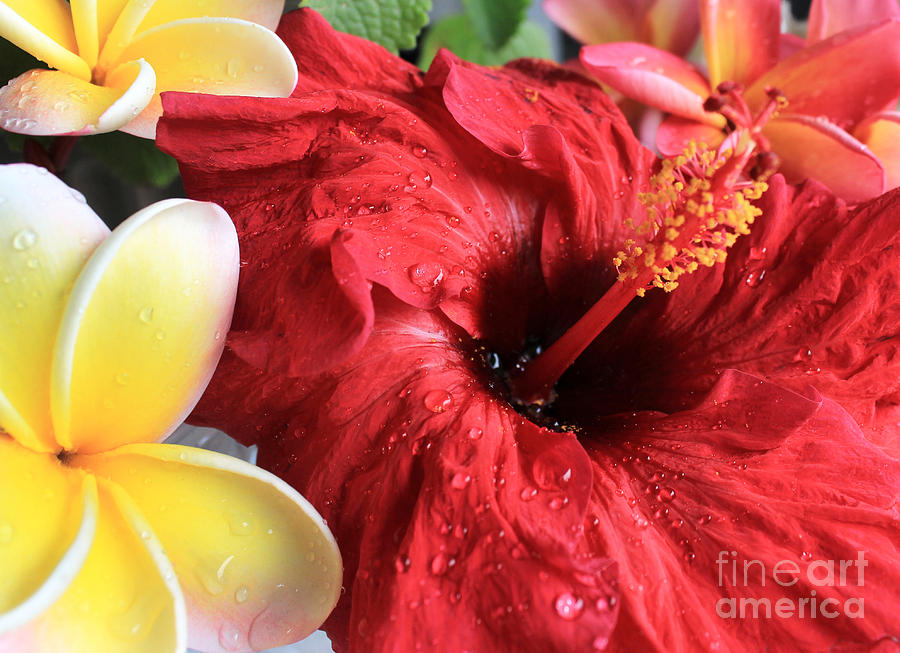 Red Hibiscus Photograph - Red Hibiscus by Kristine Widney