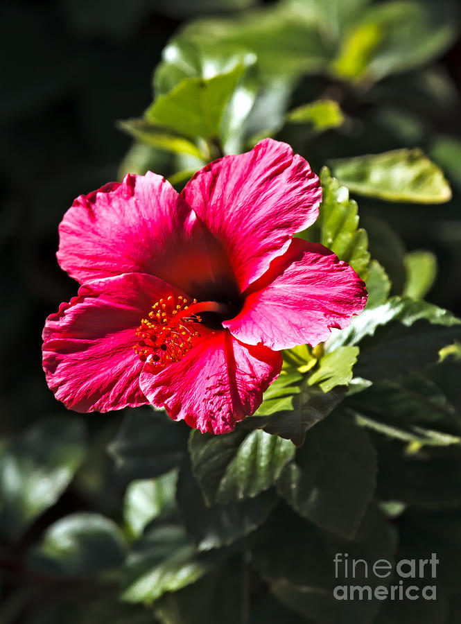 Hibiscus Photograph - Red Hibiscus by Robert Bales