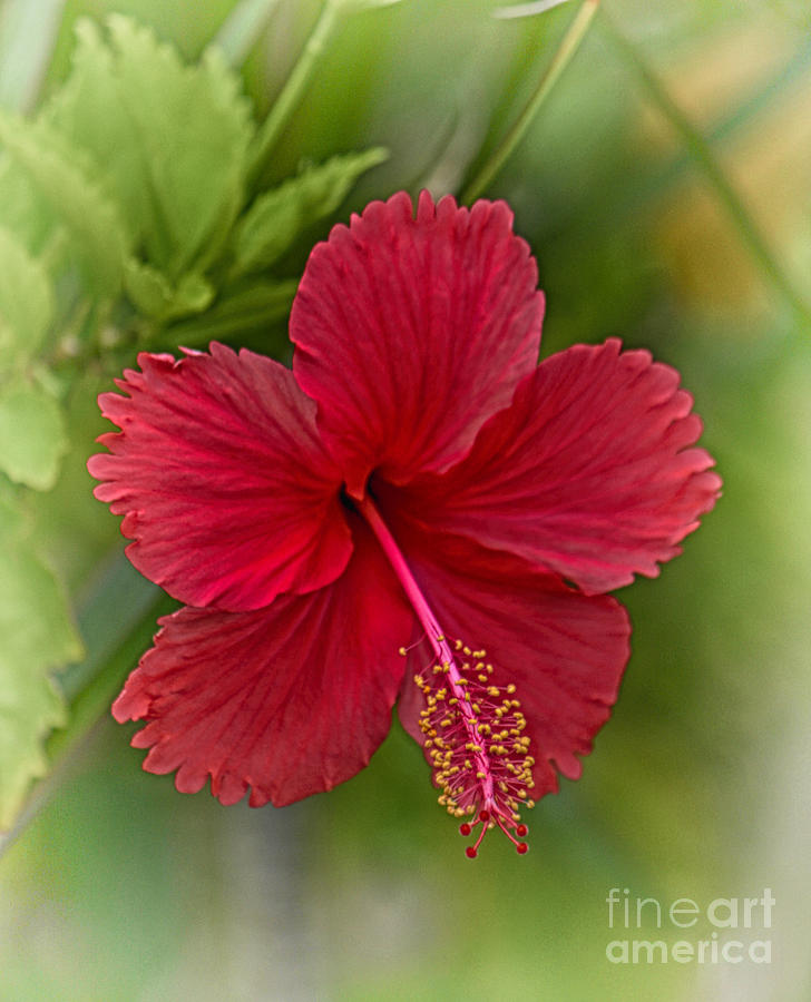 Hibiscus Photograph - Red Hibiscus by Wendy Townrow