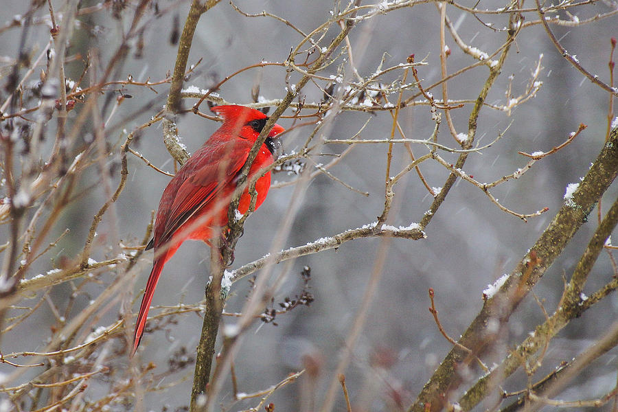 Bird Photograph - Red Hot In A Snowstorm by RockyBranch Dreams