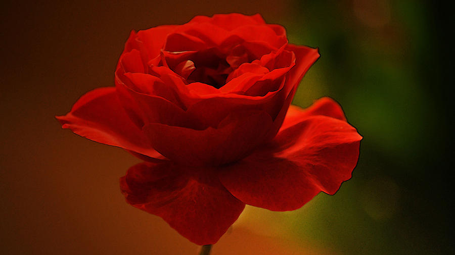 Rose Photograph - Red II by Daniele Smith