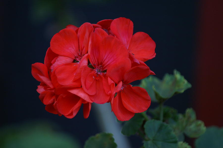 Flowers Photograph - Red Is My Blossom by Thomas D McManus