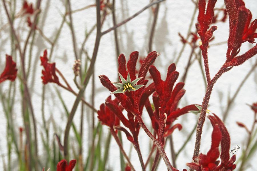 Red Flower Photograph - Red Kangaroo Paw by Ben and Raisa Gertsberg