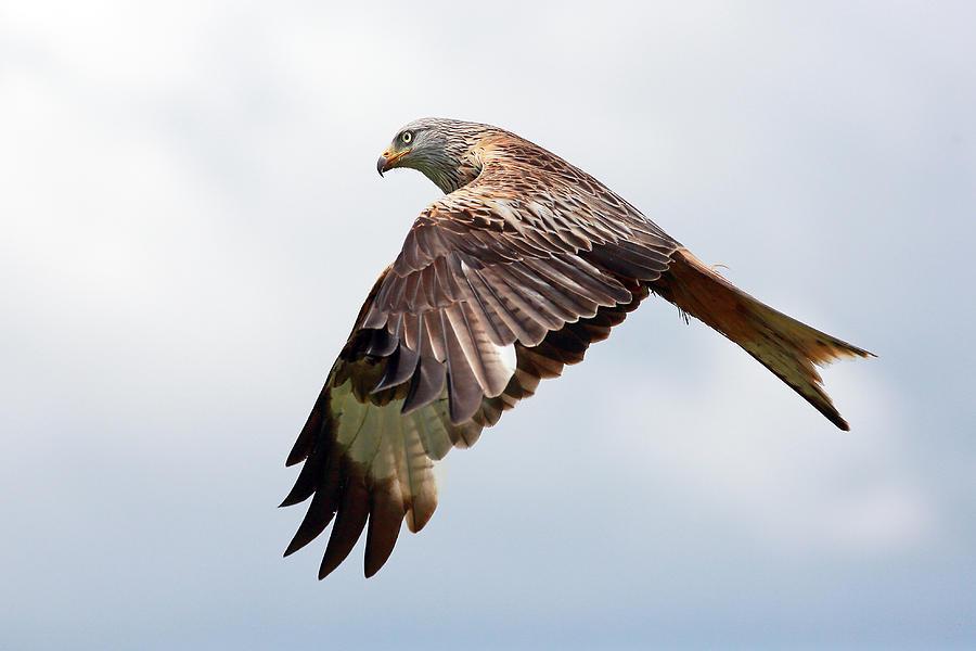 Red Kite Flight Photograph