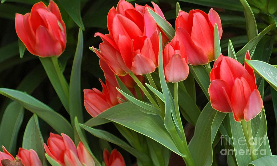 Tulip Photograph - Red Ladies by Kathleen Struckle