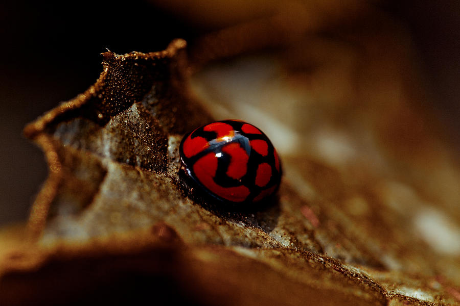 Lady Bug Photograph - Red Lady Bug by Isabel Laurent
