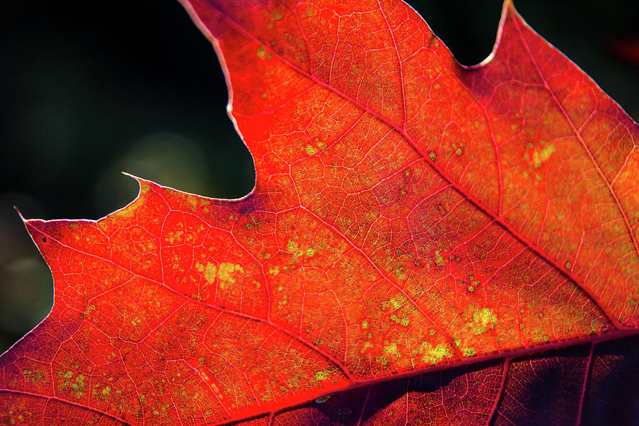 Red Leaf Rising Photograph by Joe Martin A New Hampshire Portrait Photographer