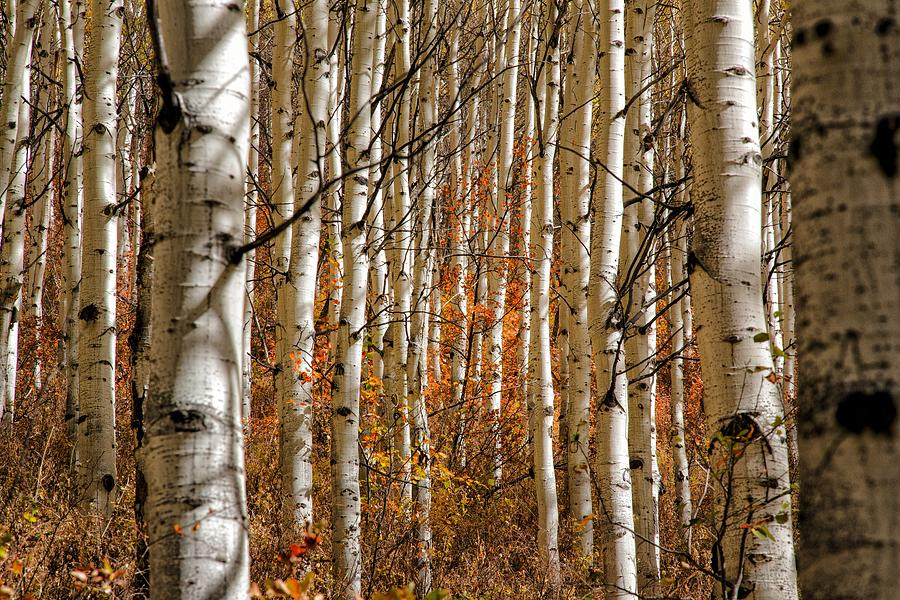 Red Leafs Through The White Aspens Photograph