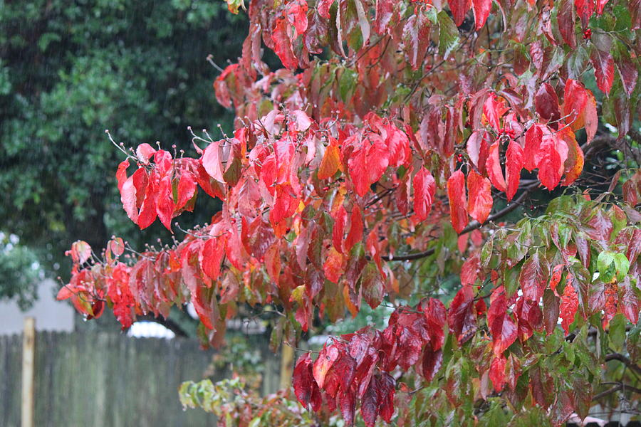 Leaf Photograph - Red Leaves In The Rain by Carolyn Ricks