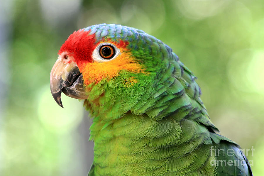 Red Lored Amazon Parrot Photograph By Teresa Zieba
