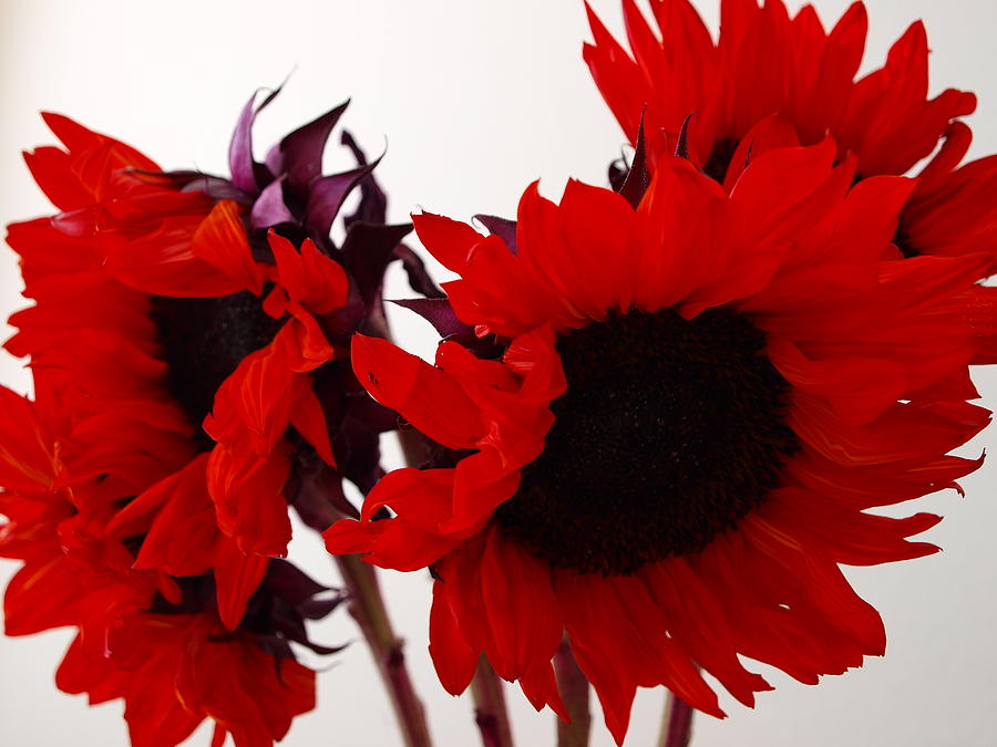 Flower Photograph - Red Lullaby by M Pace