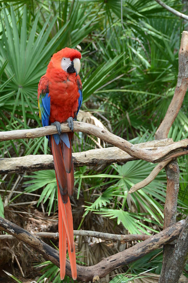 the last red macaw The spix's macaw's bright blue plumage captured the attention of movie fans in the 2011 animated film riohowever, scientists have confirmed the parrots behind the movie are now extinct in the wild.