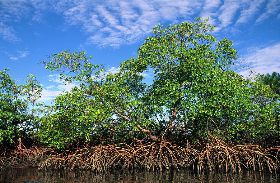 Acanthaceae Photograph - Red Mangrove East Coast Brazil by Pete Oxford