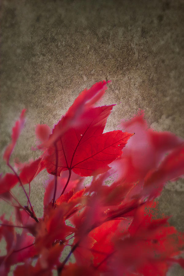 New England Fall Foliage Photograph - Red Maple Dreams by Jeff Folger