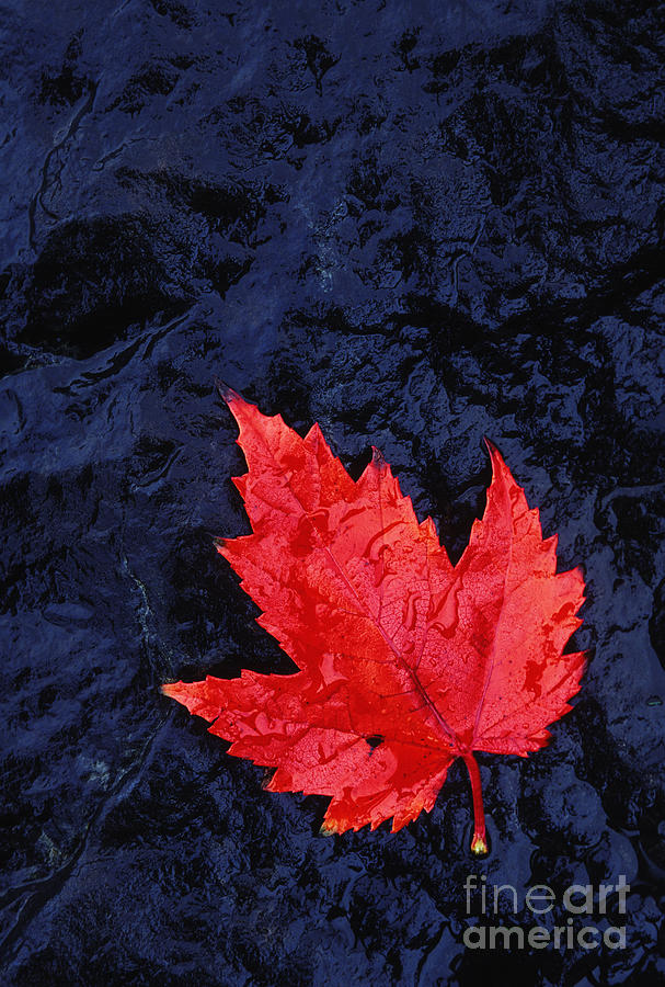 Leaf Photograph - Red Maple Leaf And Black Stone - Fs000222 by Daniel Dempster