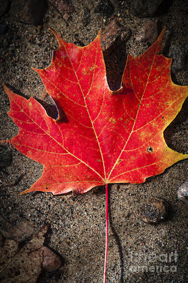 Fall Photograph - Red Maple Leaf In Water by Elena Elisseeva