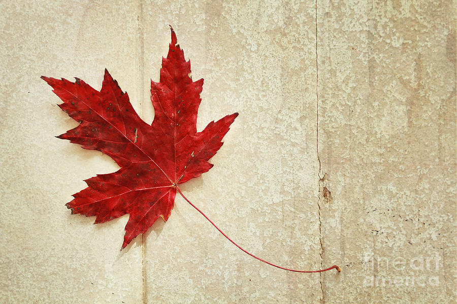 Red Photograph - Red Maple Leaf by Isabel Poulin