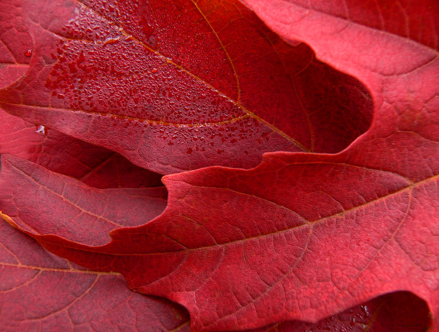 Leaf Photograph - Red Maple Leaves by Jennie Marie Schell