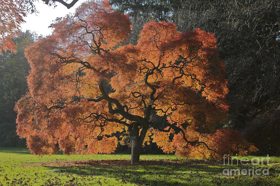 Tree Photograph - Red Maple by Linda Asparro