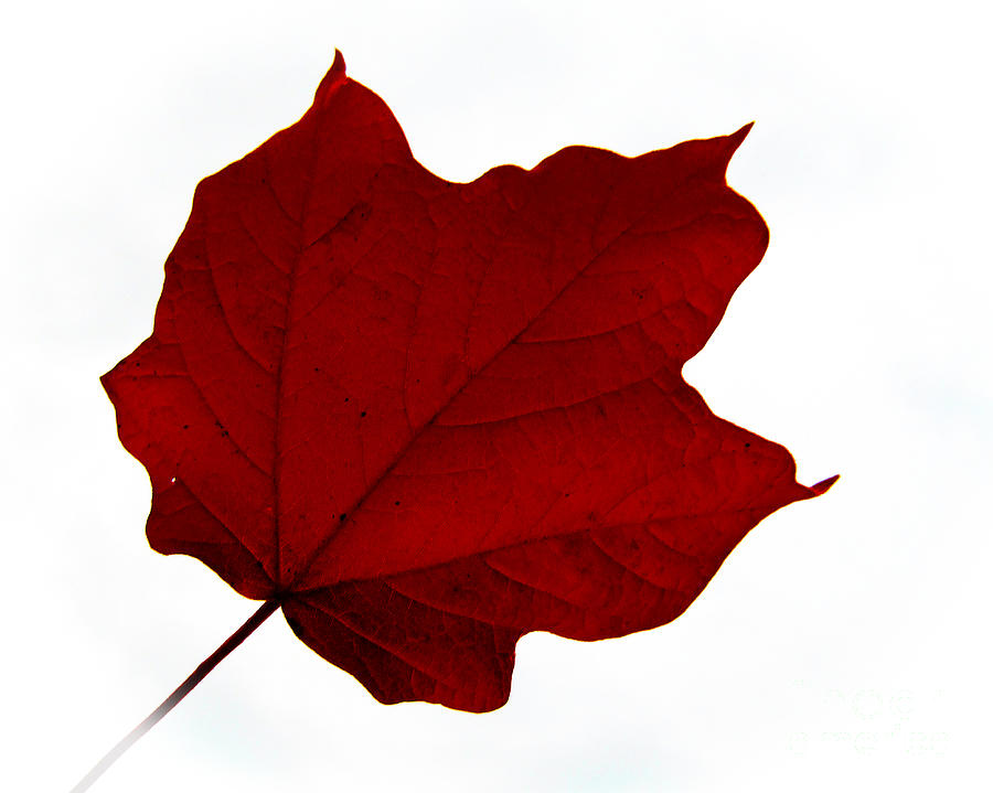 Leaves Photograph - Red Maple Now by Tina M Wenger