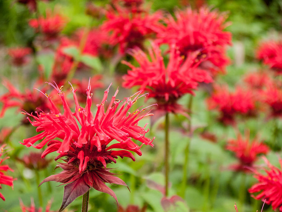 Aromatic Photograph - Red Monarda by Rob Huntley