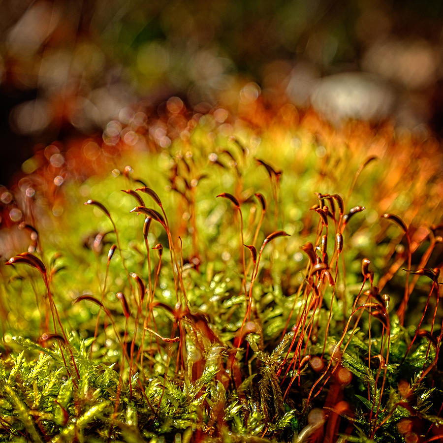 Red Moss Capsules Photograph by Chris Bordeleau