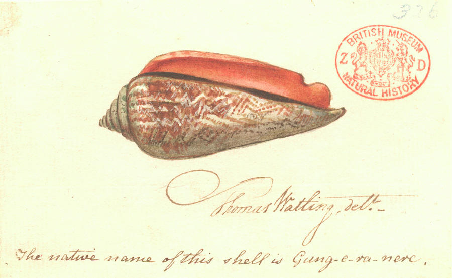 18th Century Photograph - Red-mouthed Stromb by Natural History Museum, London