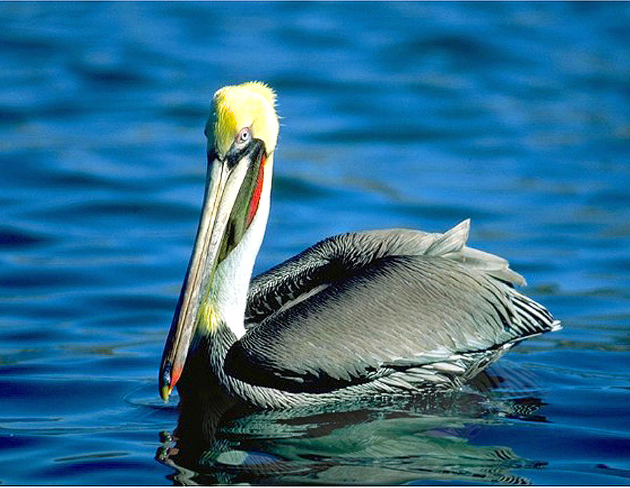 Red  Necked Pelican by Pristine Images