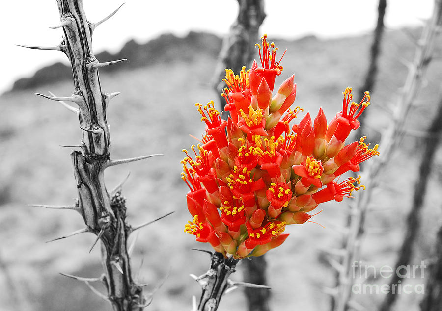 Color splash photograph red ocotillo flower in big bend national park color splash black and