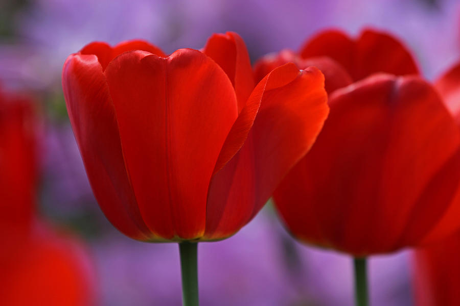 Tulip Photograph - Red On Pink by Juergen Roth