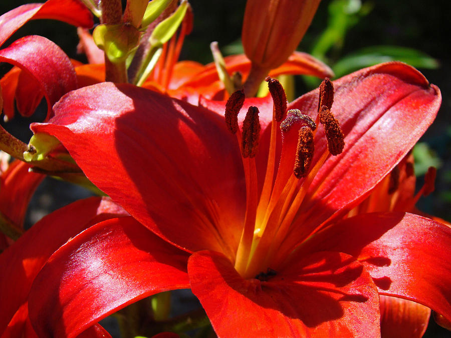 Red Orange Lily Flowers Art Prints Photograph By Baslee Troutman