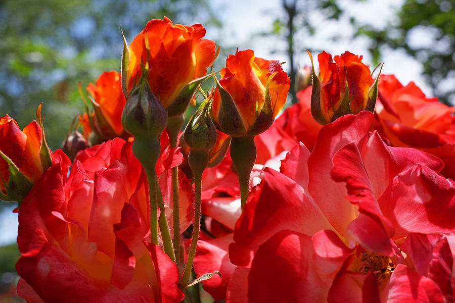 Red Orange Roses Art Prints Floral Photography Photograph
