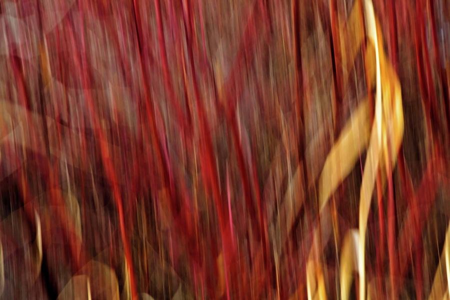 Nature Photograph - Red Osier Dogwood by Theresa Tahara