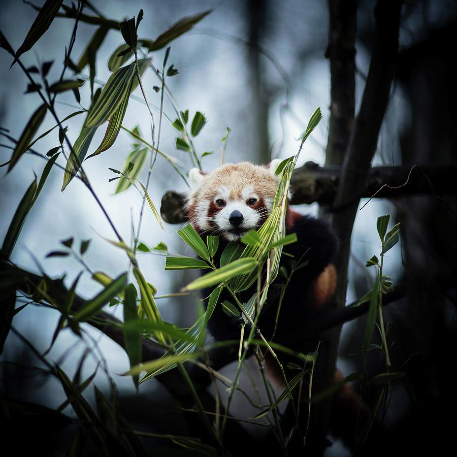 Red Panda Photograph by Jaroslav Kocian
