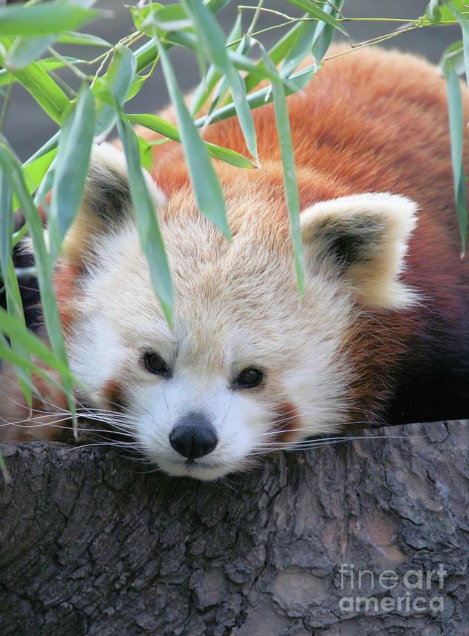 Red Panda Photograph - Red Panda by Karol Livote