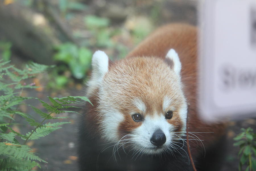 National Photograph - Red Panda - National Zoo - 01132 by DC Photographer