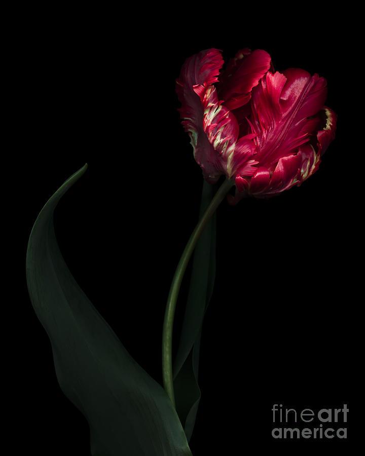 Black Photograph - Red Parrot Tulip by Oscar Gutierrez