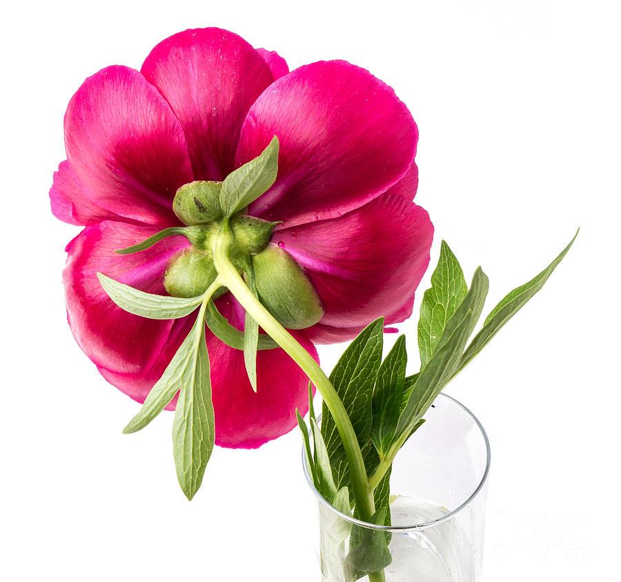 Flower Photograph - Red Peony Flower Back by Edward Fielding