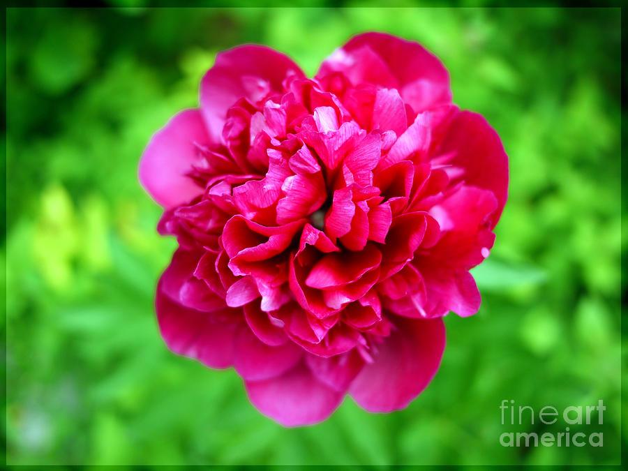 Flower Photograph - Red Peony Flower by Edward Fielding