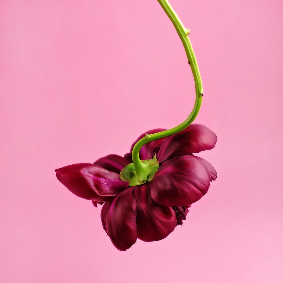 Red Peony Photograph by Juj Winn