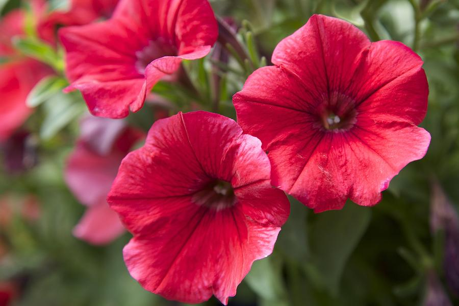 Petunia Photograph - Red Petunias by Terry Horstman