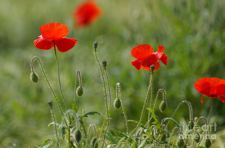 Poppies Photograph - Red Poppies 2 by Carol Lynch