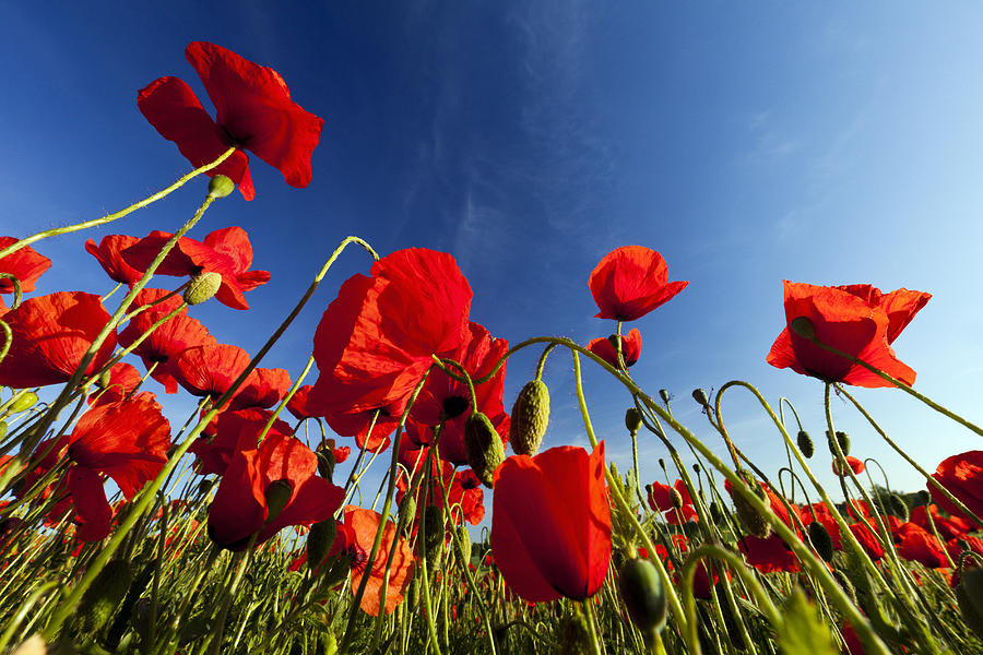 Red Poppies Germany Photograph by Duncan Usher