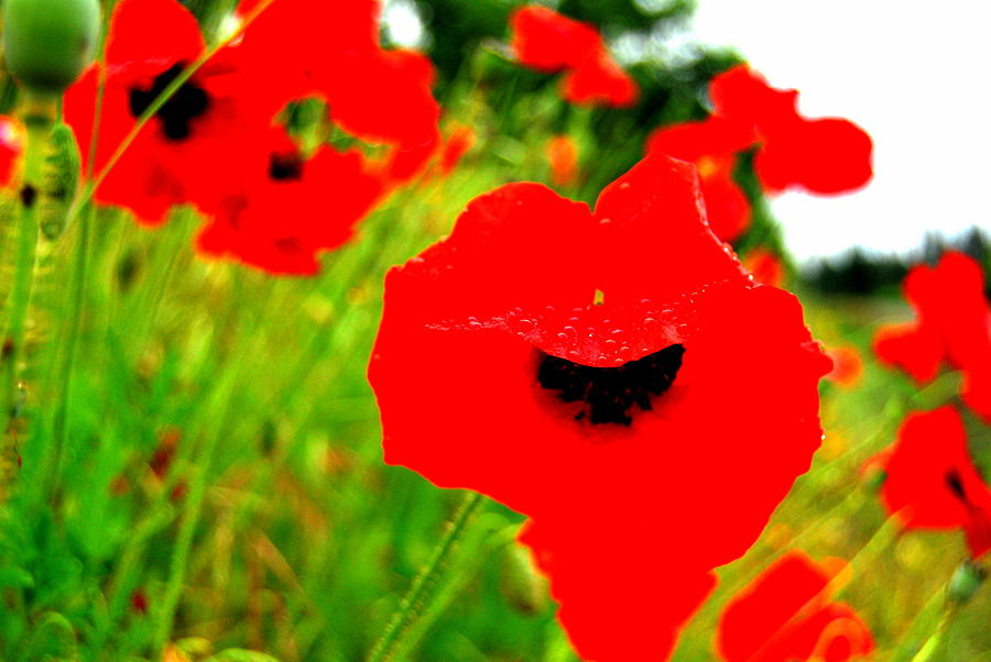 Poppies Photograph - Red Poppies by Mamie Gunning