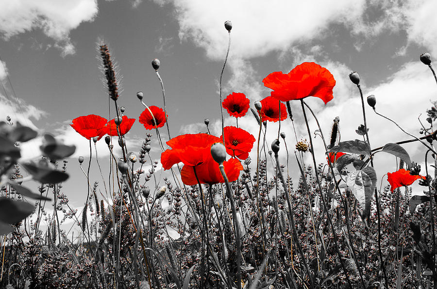 Black and red shower curtains - Red Poppies On Black And White Background Photograph By